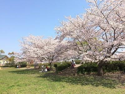 2017年の桜の館山!