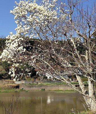 館山のお花いろいろー宝貝のあたり