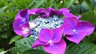 南条のあたりの風景と紫陽花