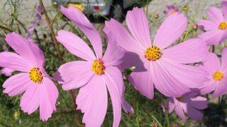 館山の花盛りのコスモス
