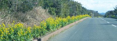 菜の花が咲く時期